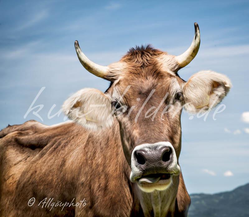 Kuhbild einfach kuh kuhbilder als leinwand poster - Kuh bilder auf leinwand ...
