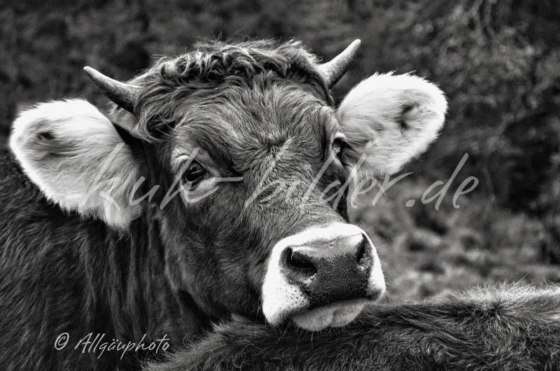 Kuh bilder in schwarz wei kuhbilder als leinwand poster dibond und mehr - Kuh bilder auf leinwand ...