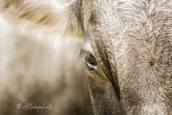 Eine Kleine Kuh Hommage Mit Augenzwinkern Kuh Bilder Als Leinwand